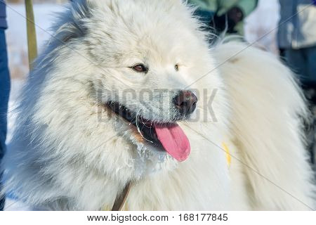 White fluffy Samoyed dog language. close-up portrait.