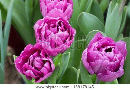 Fresh varietal terry pink  tulip in garden.