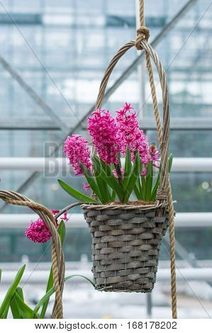 Hyacinth pink hanging in a wicker basket.