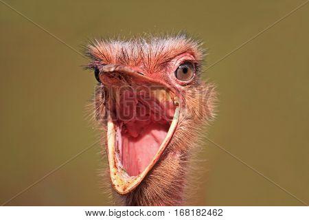 close up of a ostrich bird calling
