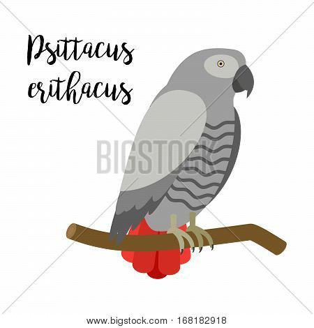 Grey exotic tropical bird isolated on white background. Psittacus erithacus parrot bird vector element with hand drawn inscription