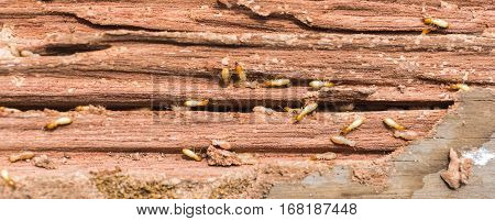 The  Grunge Wood Board Was Eating By Group Of Termites