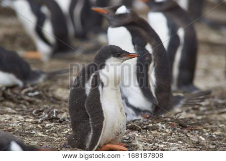 Gentoo Penguin chick (Pygoscelis papua) in a creche on Bleaker Island in the Falkland Islands