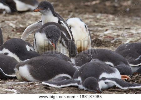 Group of Gentoo Penguin chicks (Pygoscelis papua) in a creche on Bleaker Island in the Falkland Islands