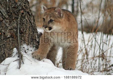 Baby cougar exploring the world in the snow