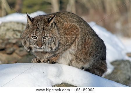A bobcat crouching on a snow-covered rock