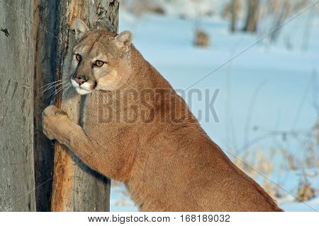 A cougar sharpening his claws on a tree
