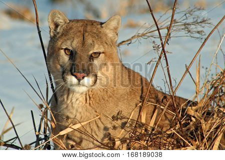 A cougar relaxing in the winter sun