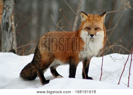 Beautiful red fox in her winter coat standing in the snow