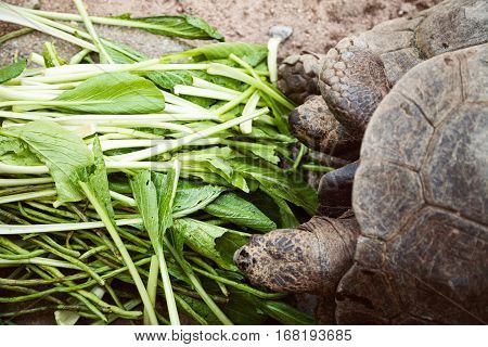 Two small friends tortoise eating green food close-up. Cute couple of turtles having lunch - spinach and French beans