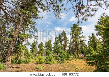 Pine tree forest with dry soil at Bryce Canyon