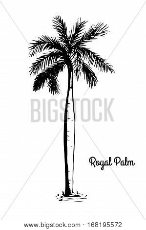 Vector sketch illustration Black silhouette of Royal Palm isolated on white background. Tropical and subtropical flora, native to Florida and Mexico. National tree of Cuba. Roystonea Regia.