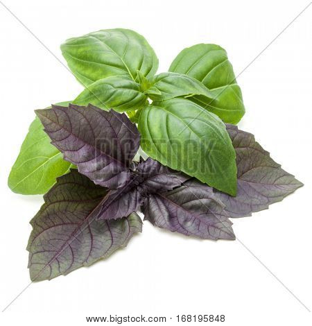 Close up studio shot of fresh green and red basil herb leaves mix isolated on white background. Sweet Genovese basil and Purple Dark Opal Basil