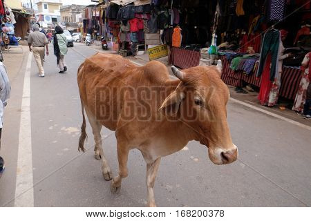 PUSHKAR, INDIA - FEBRUARY 17, 2016: cows strolling around in the city of Pushkar, India. Most Hindus respect the cow for her gentle nature which represents the main teaching of Hinduism