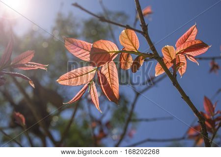 The young leaves of the trees with a red light of the sun.