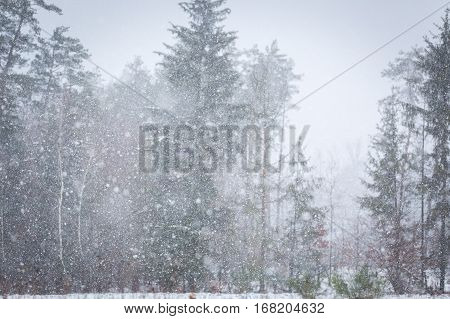 Close Up Of Falling Snow Flakes On Forest Background