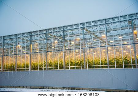 Cucumbers Ripening In Greenhouse