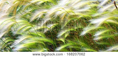 Background image has grassy white tassle heads blowing in the wind in Montana.