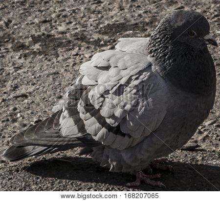 Pigeon, dove, dove on the road, gray pigeon closeup, city birds. Dove -  a bird of peace