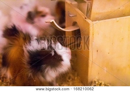 Cavia animal, head of lion rabbit rose
