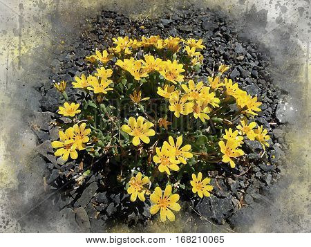 Watercolor of a bunch of small yellow daisies growing next to the roadside in a patch of gravel.