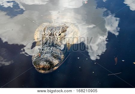an American alligator (A. mississippiensis), Nature, USA,