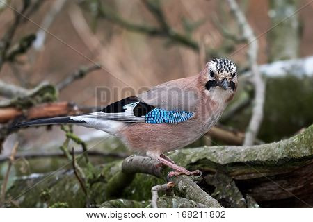 Eurasian jay sitting on a branch in its habitat