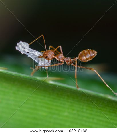 weaver ants are carrying the egg white transparent