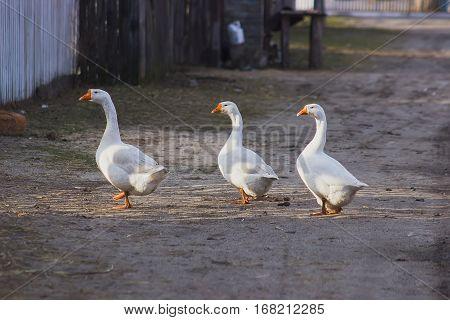 three gooses walking aorund, looking forward its future