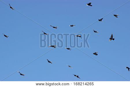 Flock of birds swarming against blue sky.