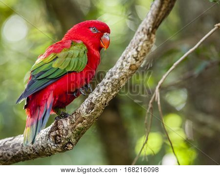 Close-up image of Chattering Lory