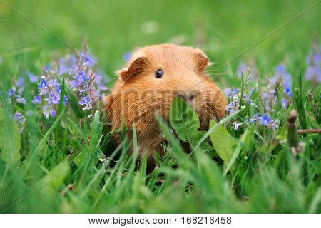 adorable brown guinea pig posing outdoors in summer