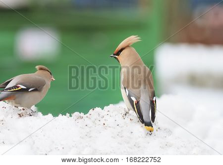 beautiful winter birds waxwings are in the snowdrift