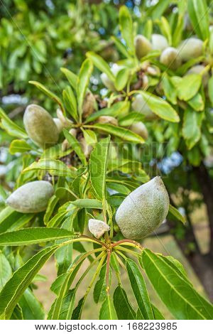 closeup of green almonds growing on branch of tree