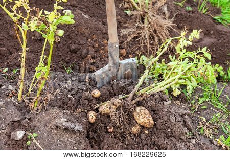Freshly dug potatoes and shovel on the farm plantation in sunny day