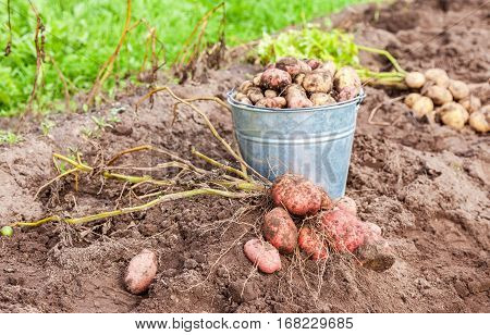 New organic potatoes in metal bucket at the vegetable garden