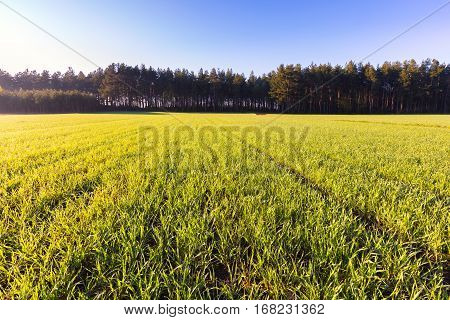 Young Green Cereal Field Landscape