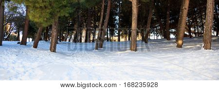 Trees boles on a snowy background