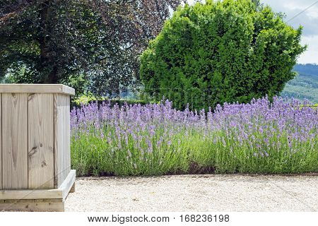 Blooming lavender and wooden bucket flower box on a footpath