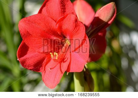 Bright red flowering amaryllis - close up and depth of field