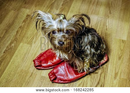 Little puppy Yorkshire Terrier sits on the sneakers is of the owner