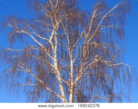 White-trunked birch in the winter against the background of the bright blue sky
