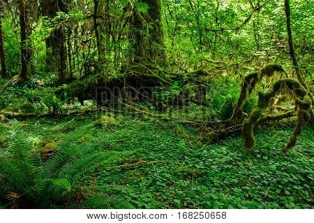 Amazing trees in a tropical forest, Hoh Rain forest, Olympic National Park, Washington USA