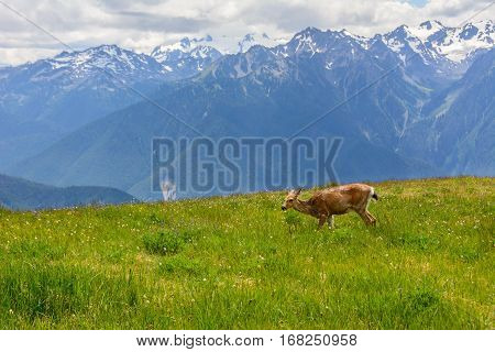 Deer in the meadow in mountains, Olympic National Park, Washington, USA