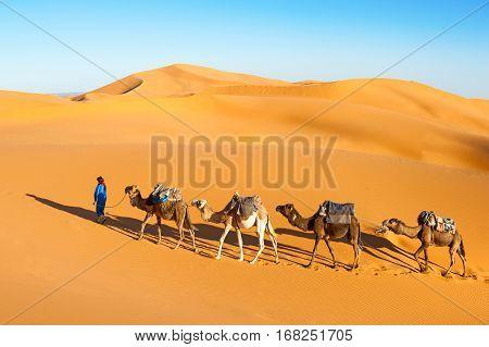 Camel caravan going through the sand dunes in the Sahara desert Marocco. Camel in desert concept.
