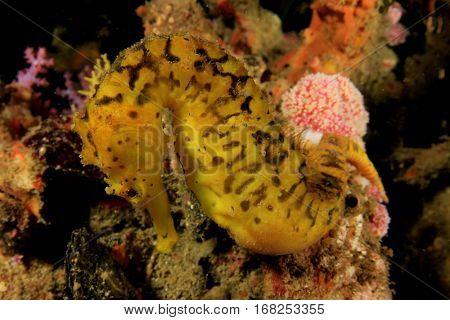 Tigertail Seahorse yellow sea horse