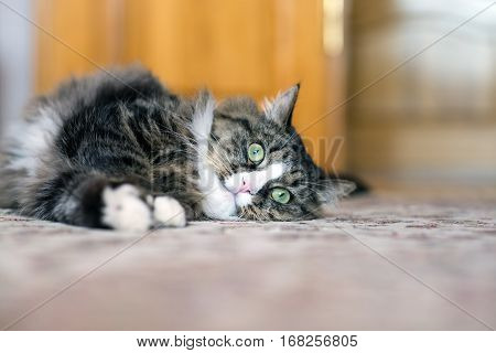 cat lies on the floor. cat lying on the carpet. cat resting on the carpet. cat resting on the floor. cat relaxing on the floor. cat relaxing on the carpet.
