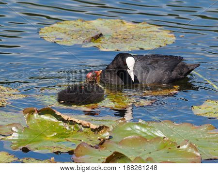Coot looking at ´the youngster (Fulica atra)