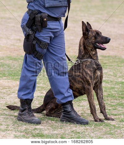 Obedient police dog sitting at his handlers feet