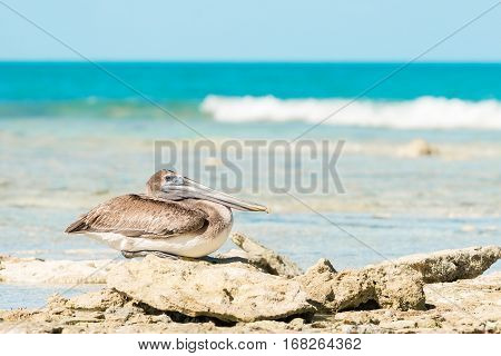 Brown pelican rests on some rocks on a beach in Cuba.